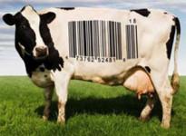 mucca-e-tracciabilita